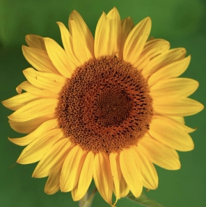 sunflower-background-summer-flowers-green-32800